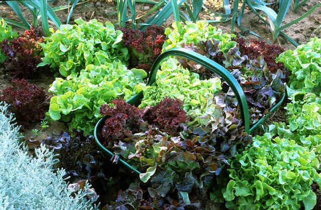 Comment avoir des plants de salade ?